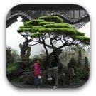 shanghai tree