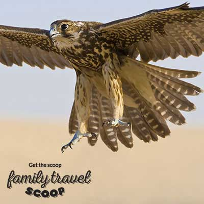 falcon in uae