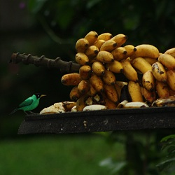 banana growing costa rica