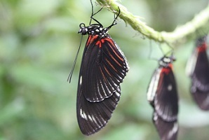 butterflies hatching costa rica