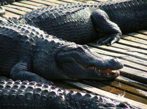 Alligator in Gatorland
