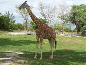 giraffe at Miami Zo