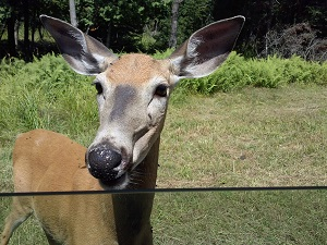 deer at the window at parc omega