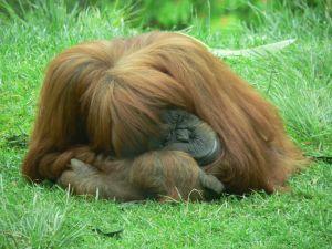 Orangutan Island in Malaysia
