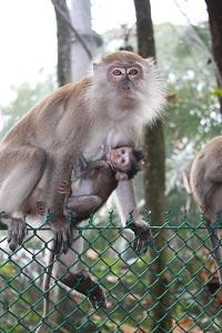 penang monkeys