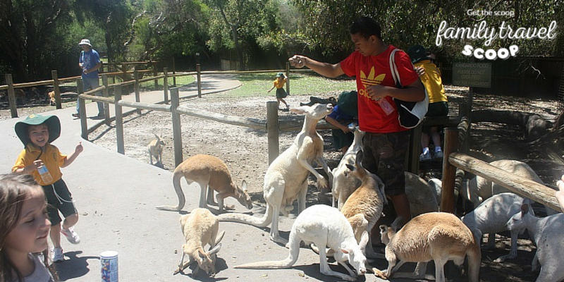 Boy feeding kangaroos in Perth