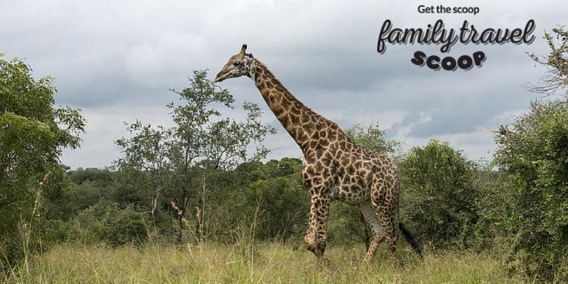 Giraffe in Sout h Africa