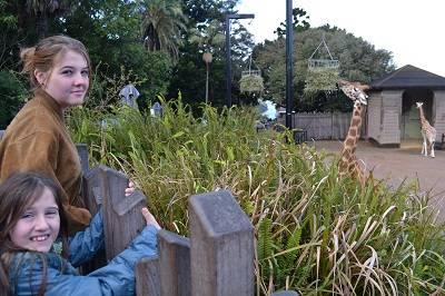 Taranga Zoo Giraffes