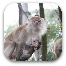probisicus monkey