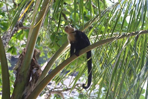white face monkey in costa rica