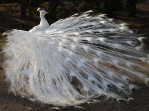 white peacock at Wallentein Palace Gardens