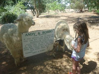 girl feeding alpaca