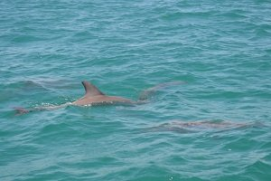 dolphins in Perth