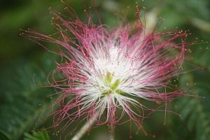 pink flower costa rica