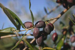 Cretan Olive Oil Farm