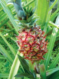 Hawaiin pineapple