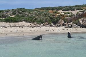 sea lions in Perth