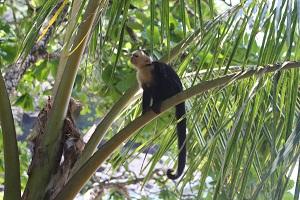 white face monkey in costa rica