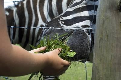 zebra feeding in Kenya