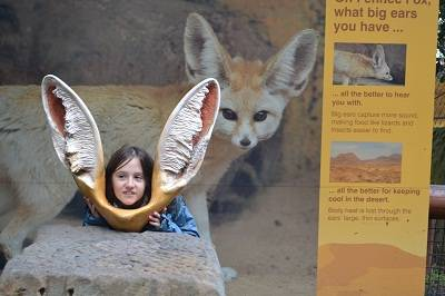 fox ears at Taronga zoo